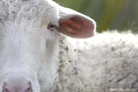 Imagen de una oveja.