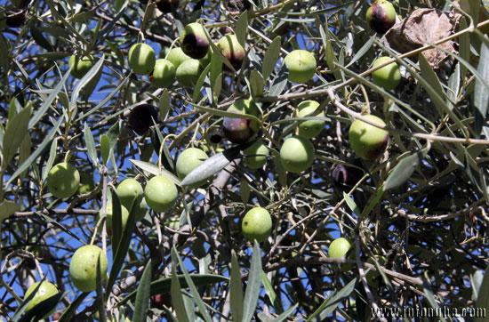Un olivo en la provincia onubense.