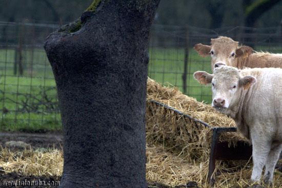 Vacas en la localidad onubense de Campofrío.