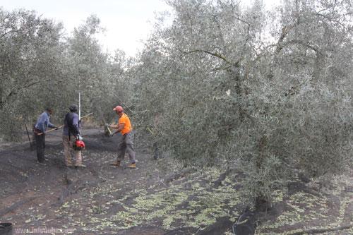 Imagen de trabajadores vareando un olivo.