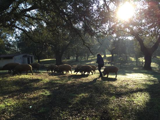 Periodistas franceses, dan de comer a los cerdos de la DOP Jabugo en la Dehesa Ecológica de la Finca Montefrío.