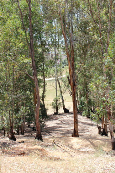 Imagen de Eucaliptos en el Parque Moret.