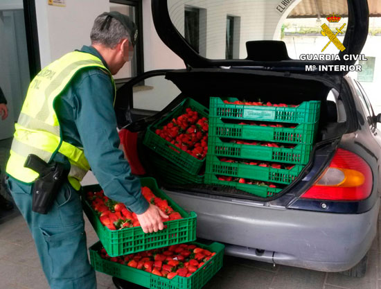 Un agente de la Guardia Civil comprueba las fresas intervenidas.