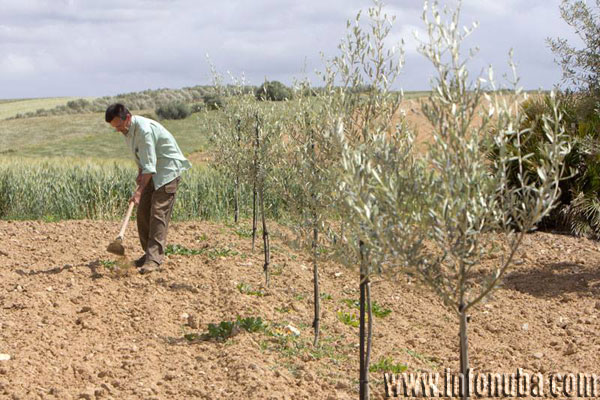 Imagen de un agricultor en un olivar.