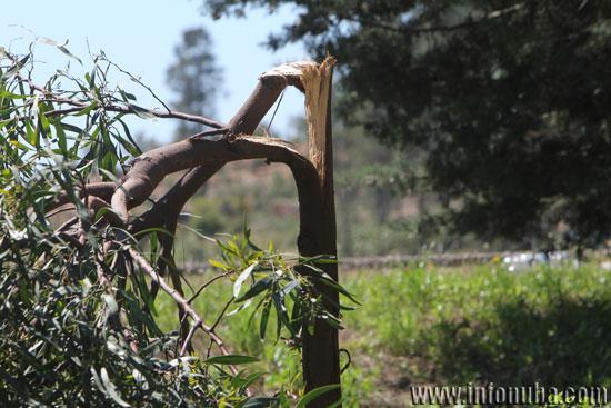 Imagen del árbol afectado.