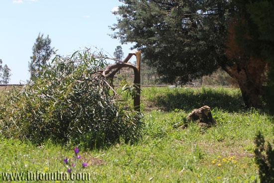 """Imagen del árbol roto en el """"parque chico"""" de El Campillo."""