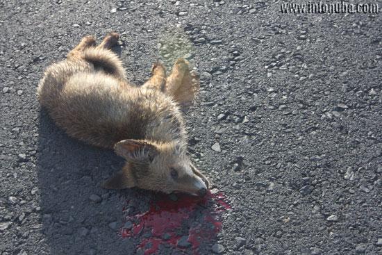 Imagen de un zorro atropellado.