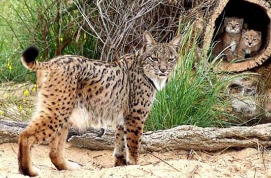 Imagen de ejemplares de lince ibérico.(Lynx pardinus),