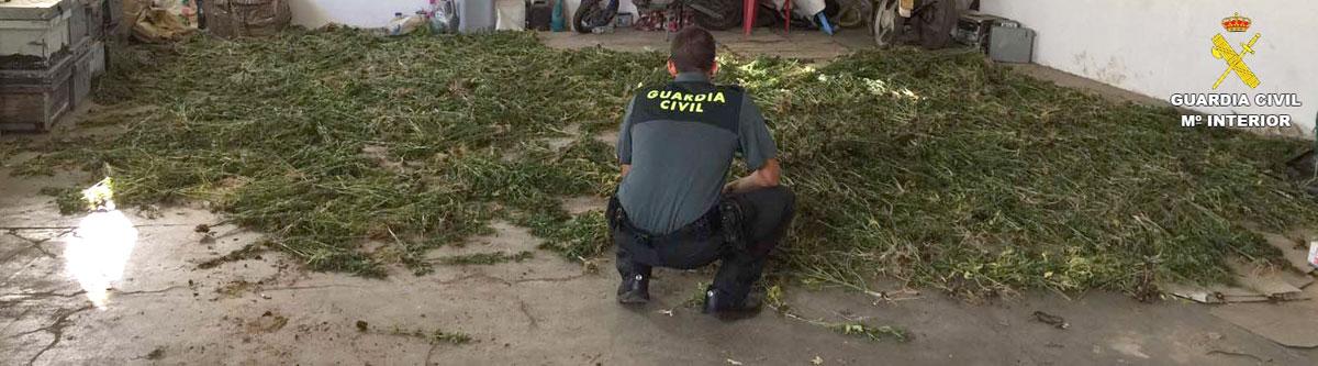 Un agente de la Guardia Civil supervisa las plantas incautadas.