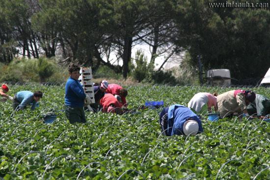 Imagen de jornaleros durante la recogida de fresas.