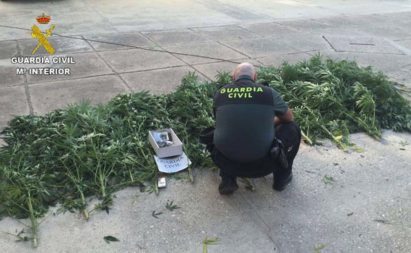 Un agente revisa las plantas incautadas.