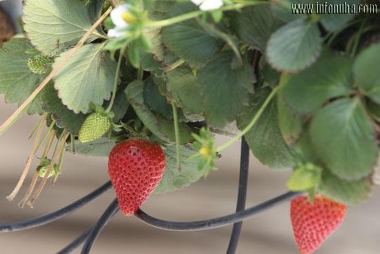 Imagen de un cultivo de fresas.