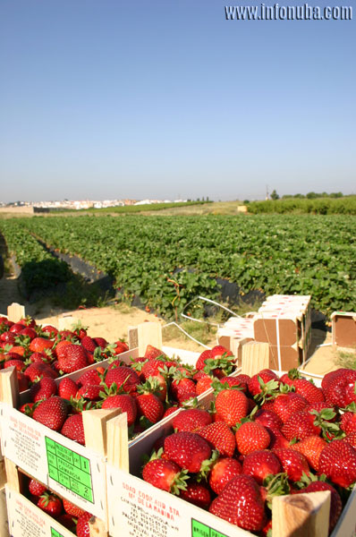 Fin de la campaña de fresas en la provincia de Huelva.