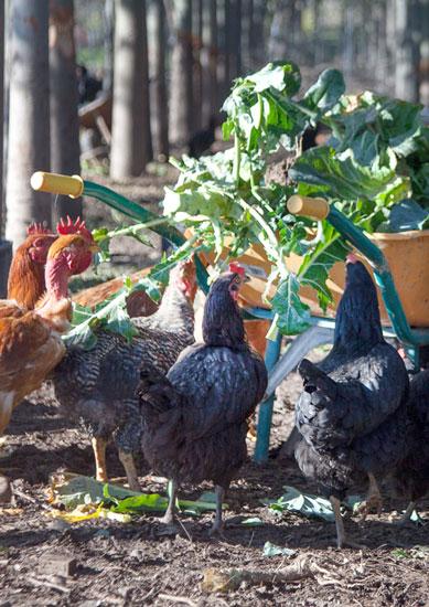 Imagen de gallinas en un huerto.