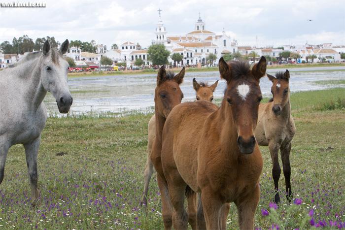 Caballos en la marisma de la aldea de El Rocío.