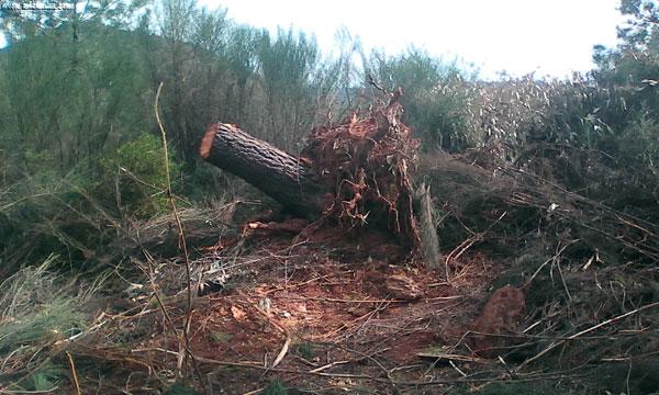 Uno de los árboles afectados por la actuación.