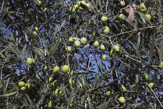 Aceitunas en un olivo de la provincia onubenese.