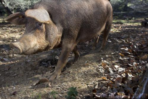 Imagen de un ejemplar de cerdo en la provincia de Huelva.