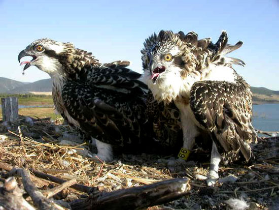 Imagen de dos ejemplares de águila pescadora.