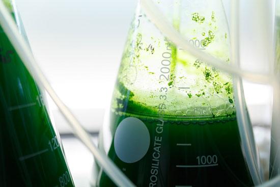 Imagen de microalgas.